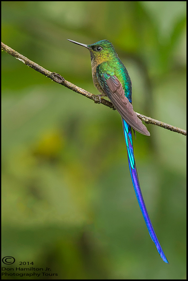 Long-tailed-Sylph-(Aglaiocercus-kingi)Forum O7T3014