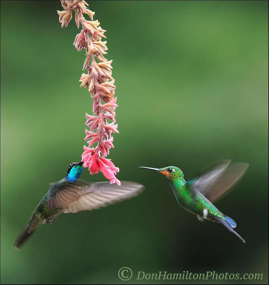 Double-Team-Hummers-Master-Crop O7T3164