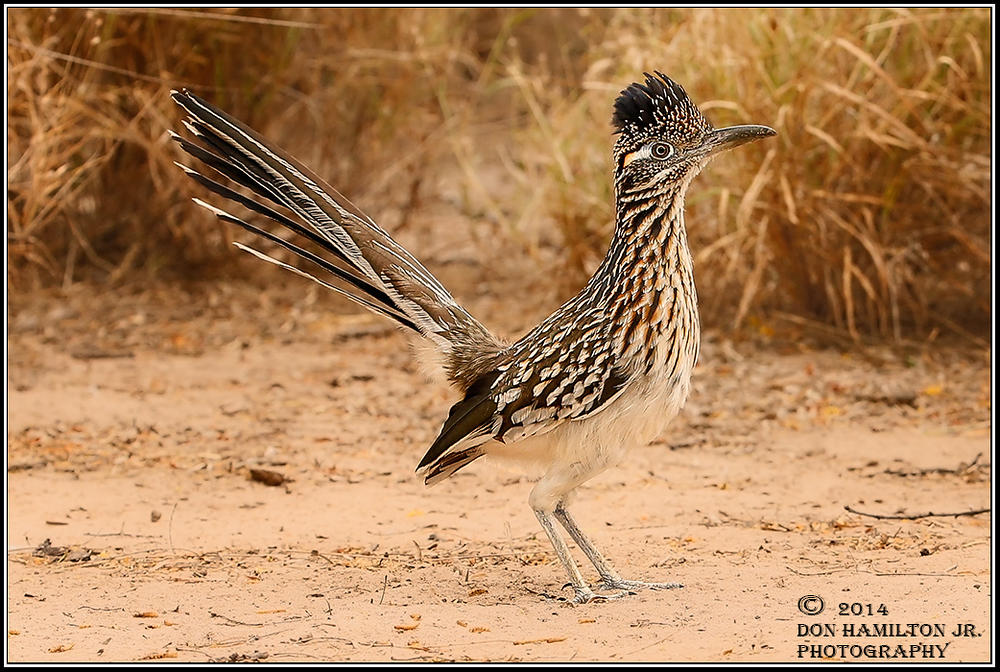 Greater-Roadrunner-Geococcyx-californianus-ForumSize O7T9809