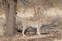 CHEETAH-MARKING-TERITORY 7I1294