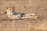 Cheetah-LookF7I1125