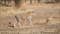 Cheetahs-on-the-HuntF7I1318