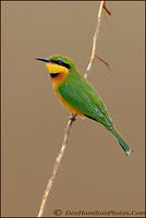 Cinnamon-Chested-Bee-Eater-MG 0811
