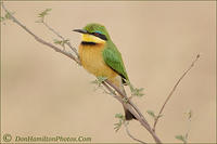 Cinnamon-Chested-BeeEater MG 1206