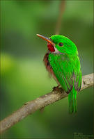 Broad-Billed-Tody