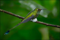 Booted-Racket-tail-(Ocreatus-underwoodii)Forums O7T0806