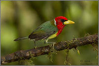 Red-Headed-Barbet-MaleForum X0A0303
