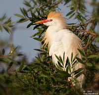 Cattle-egret-Colony-II - Copy