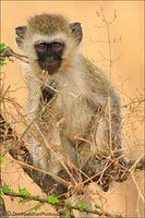 Vervet-MonkeyMaster-Crop MG 1250