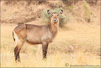 WaterBUCK-FEMALE-MASTER-CROP F7I9225